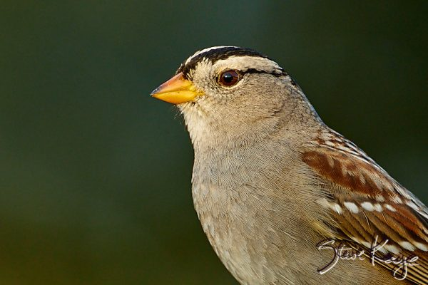 "White-crowned Sparrow, Adult, © Photo by Steve Kaye, in blog ""Being Grateful"""