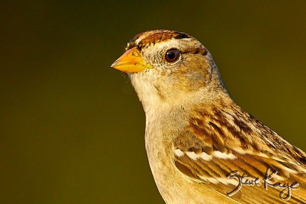 "White-crowned Sparrow, Juvenile, © Photo by Steve Kaye, in blog ""Being Grateful"""