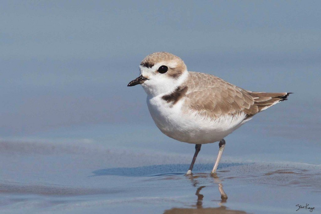 Snowy Plover, Female, on Web Site for Steve Kaye, Professional Speaker and Photographer