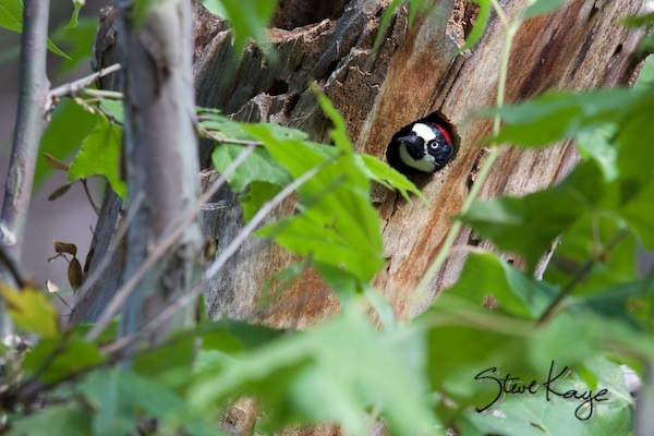 Acorn Woodpecker, Female, Looking out of a Nest Cavity