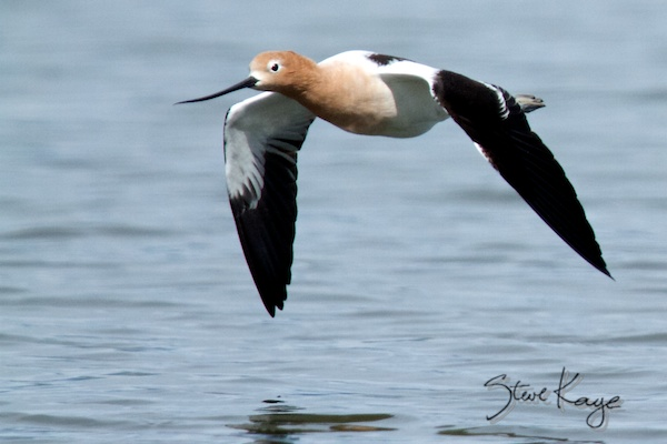 American Avocet, Breeding Plumage