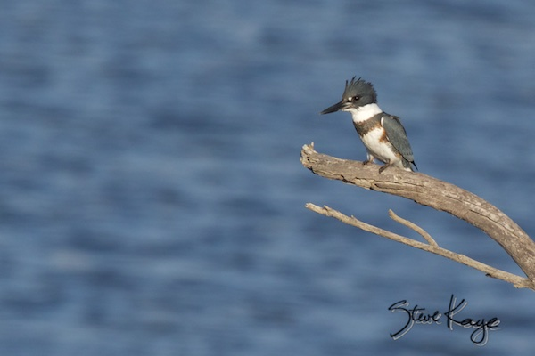 Belted Kingfisher, Male, (c) Photo by Steve Kaye