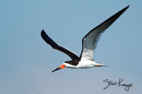 Black Skimmer, (c) Photo by Steve Kaye