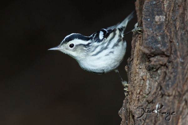 Black-and-white Warbler, (c) Photo by Steve Kaye