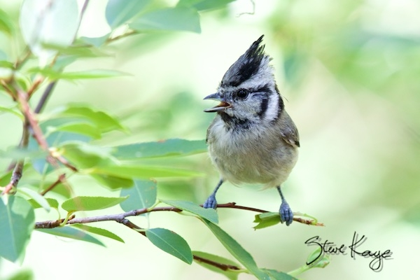 Bridled Titmouse, (c) Photo by Steve Kaye