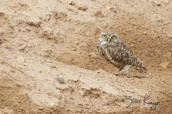 Burrowing Owl, (c) Photo by Steve Kaye