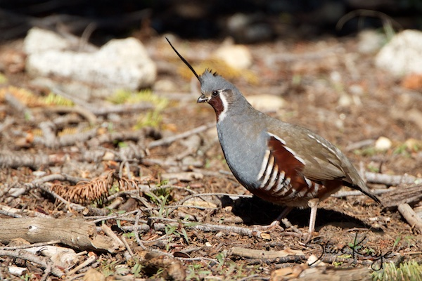 Mountain Quail, Male, (c) Photo by Steve Kaye