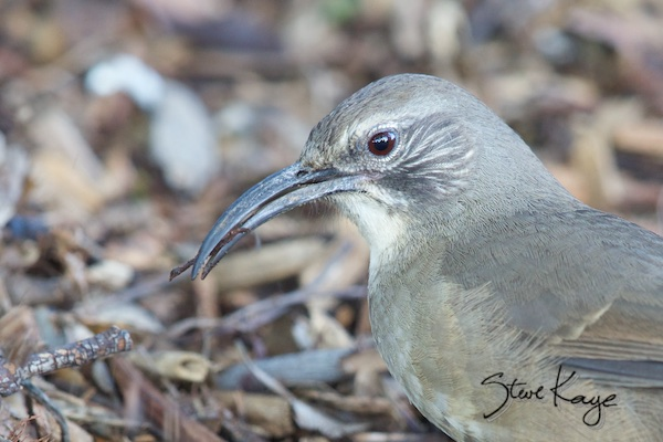 California Thrasher, (c) Photo by Steve Kaye