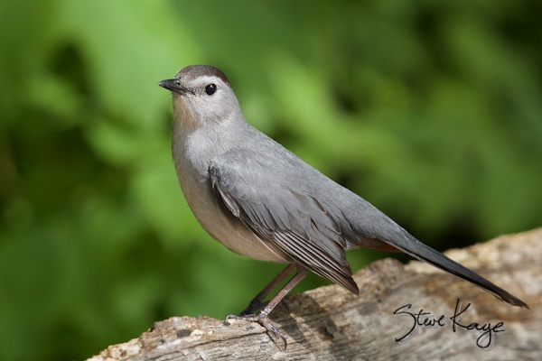 Gray Catbird, (c) Photo by Steve Kaye