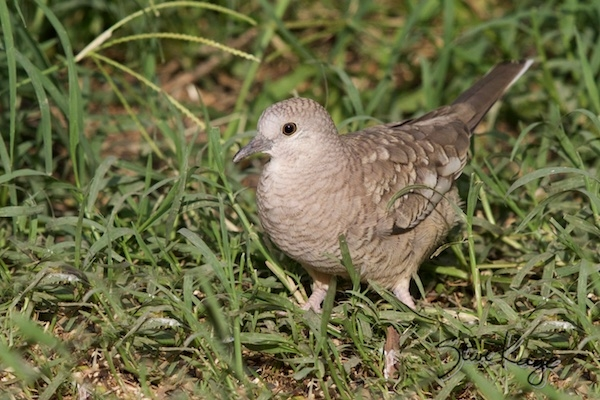 Inca Dove, (c) Photo by Steve Kaye