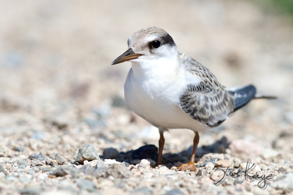 Least Tern, Juvenile, © Photo by Steve Kaye, in photo article: Watchlist Birds
