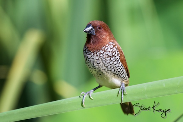 Scaly-breasted Munia (formerly Nutmeg Mannikin), (c) Photo by Steve Kaye