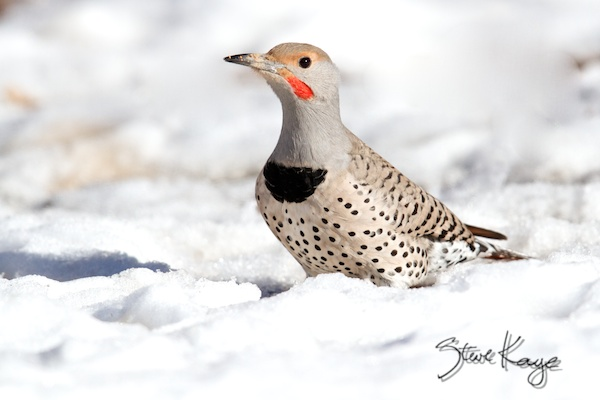 Red-shafted Northern Flicker, Male