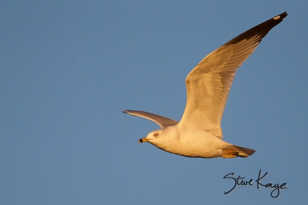 Ring-billed Gull at Sunset, (c) Photo by Steve Kaye