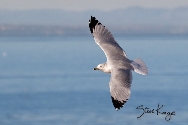 Ring-billed Gull, (c) Photo by Steve Kaye