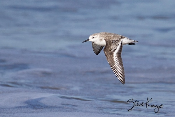 Sanderling, (c) Photo by Steve Kaye