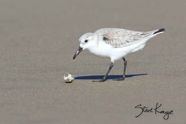 Sanderling with Sand Crab, (c) Photo by Steve Kaye