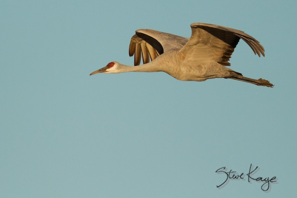 Sandhill Crane, flying
