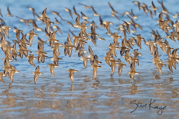 Least Sandpipers and Western Sandpipers