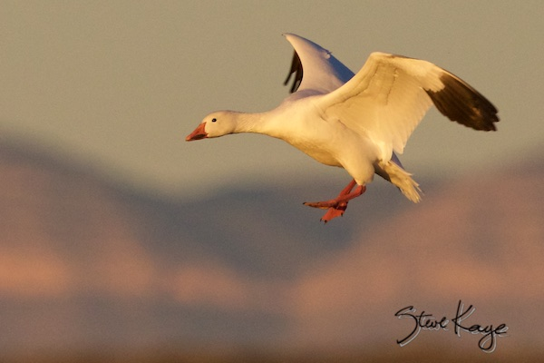 Snow Goose, Landing, (c) Photo by Steve Kaye, Inspiring Presentations by Steve Kaye