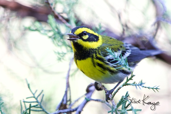 Townsend's Warbler, (c) Photo by Steve Kaye