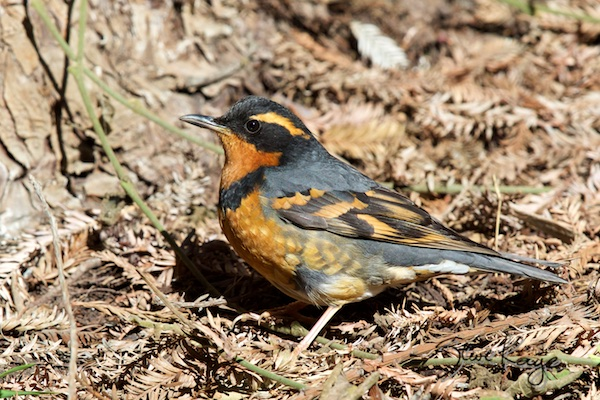 Varied Thrush, (c) Photo by Steve Kaye