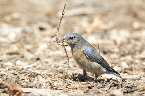 Western Bluebird, Female, (c) Photo by Steve Kaye