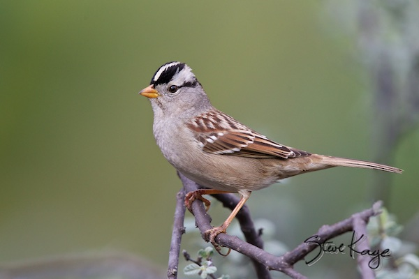 White-crowned-Sparrow, (c) Photo by Steve Kaye