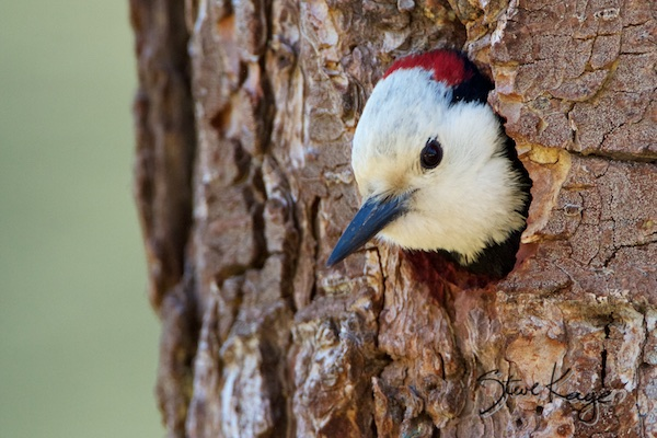 White-headed Woodpecker, Male, (c) Photo by Steve Kaye, in Endangered Birds
