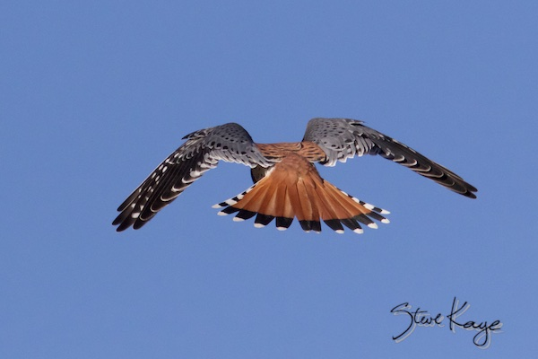 American Kestrel, Male, Flying Away, (c) Photo by Steve Kaye
