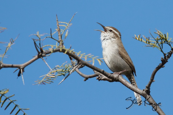 Bewick's Wren, Singing, (c) Photo by Steve Kaye, in Comments & Testimonials
