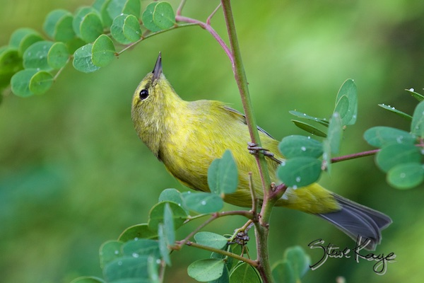 Orange-crowned Warbler, (c) Photo by Steve Kaye, in post about Position Open