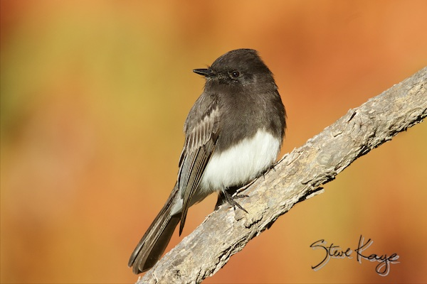 Black Phoebe, (c) Photo by Steve Kaye