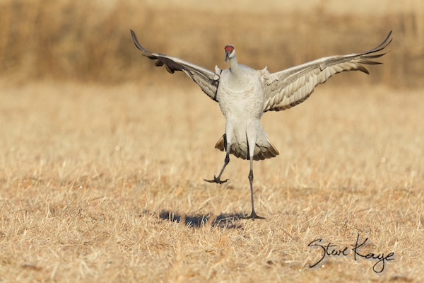 Sandhill Crane Landing, (c) Photo by Steve Kaye