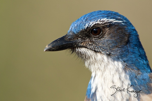 Western Scrub Jay, (c) Photo by Steve Kaye