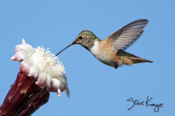 Allen's Hummingbird, Female, Flying, (c) Photo by Steve Kaye