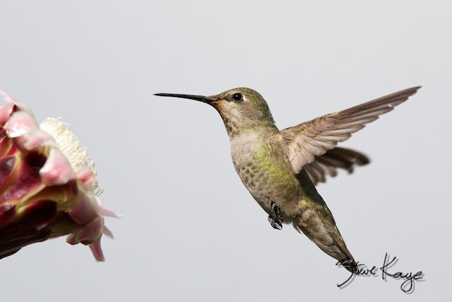 Anna's Hummingbird, Female, Flying, (c) Photo by Steve Kaye