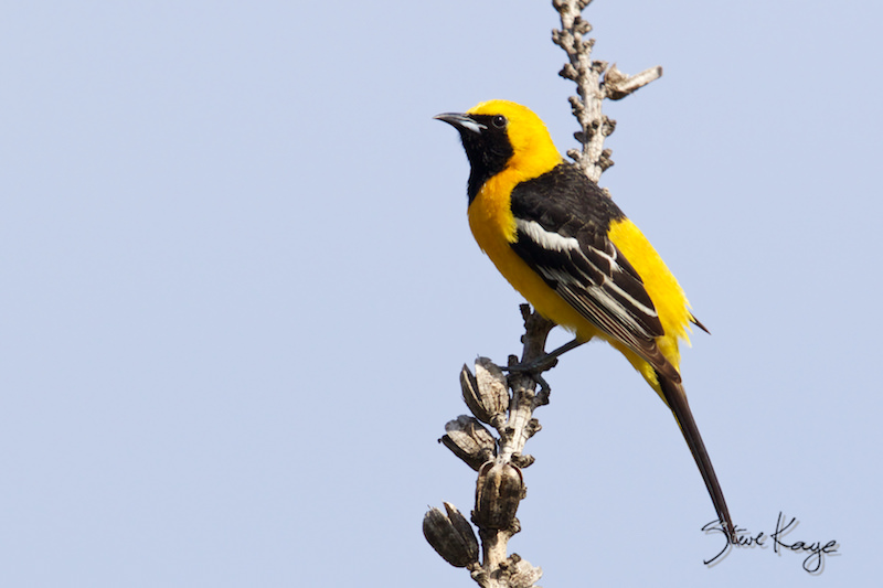 Hooded Oriole, Male, (c) Photo by Steve Kaye