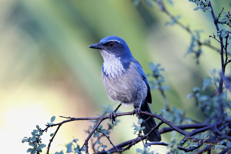 Western Scrub-Jay, (c) Photo by Steve Kaye