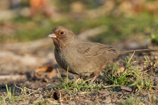 California Towhee, (c) Photo by Steve Kaye