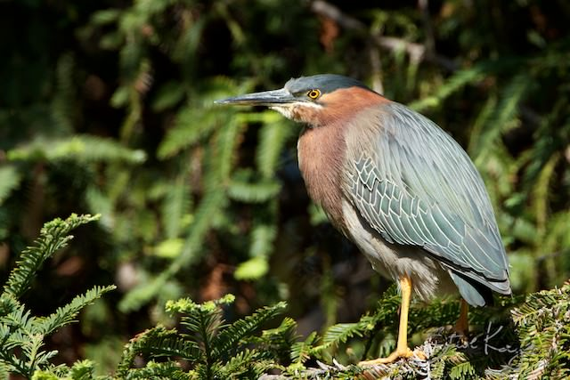 Green Heron, (c) Photo by Steve Kaye