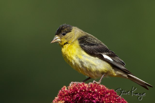 Lesser Goldfinch, Male, (c) Photo by Steve Kaye