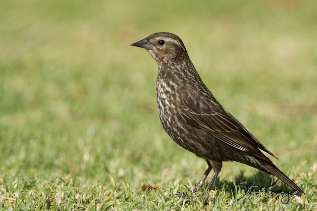 Red-winged Blackbird, Female, (c) Photo by Steve Kaye