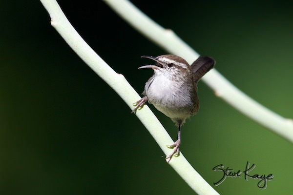 Bewick's Wren, (c) Photo by Steve Kaye, in post: This Is Not a Buick
