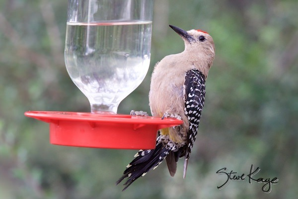 Gila Woodpecker, Male, (c) Photo by Steve Kaye