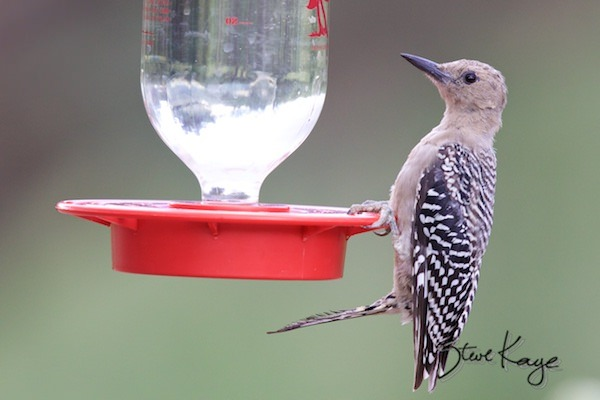 Gila Woodpecker, Female on Hummingbird Feeder, (c) Photo by Steve Kaye