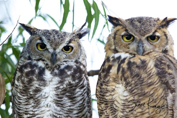Great Horned Owl, Male (Left) and Female (Right), (c) Photo by Steve Kaye