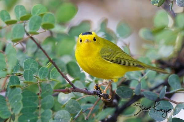 Wilson's Warbler, Male, (c) Photo by Steve Kaye, in article: Help Birds - 5 Easy Things You Can Do