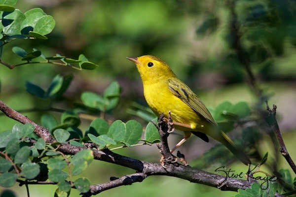 Wilson's Warbler, Female, (c) Photo by Steve Kaye