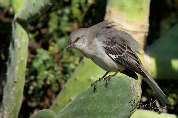 Northern Mockingbird, Birds Fluffed up, (c) Photo by Steve Kaye
